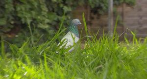 pigeon 3d obj