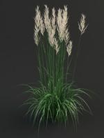 Reedgrass calamagrostis