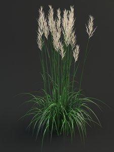 max calamagrostis reedgrass grass