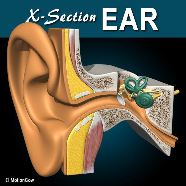3d cross sectional human ear