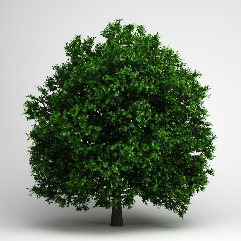 3d pedunculate oak 14 model
