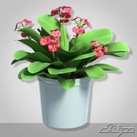 House Plant Euphorbia Milii