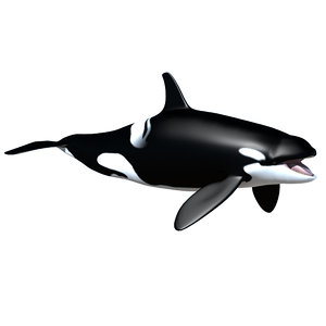 female orca killer whale 3d model