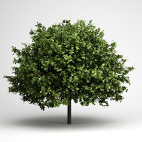 3d small-leaved lime 16 model