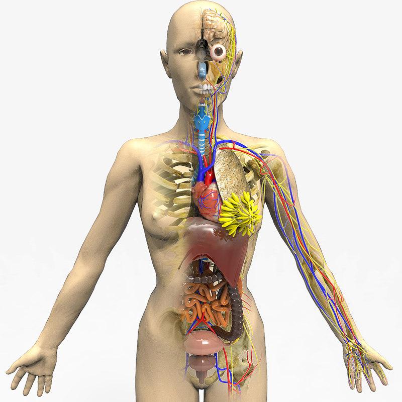 female circulatory heart 3d 3ds