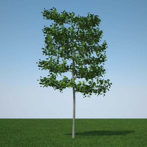 c4d common lime tree