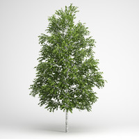european white birch 18 3d model