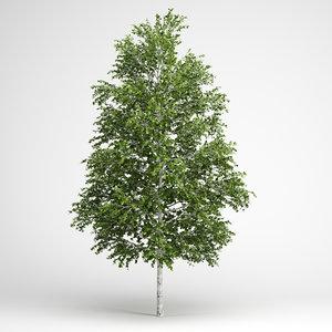european white birch 18 3d model