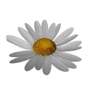 daisy blossoming 3d 3ds