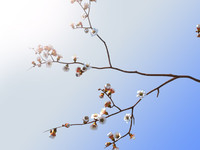 flowers apricot tree branch