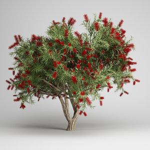 bottlebrush tree 12 max