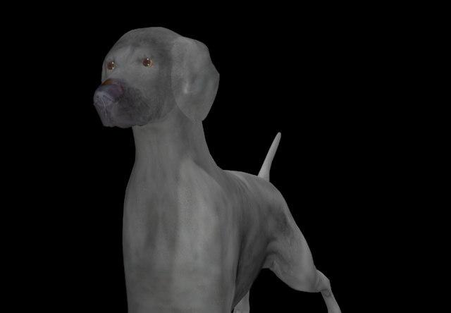 max weimaraner dog