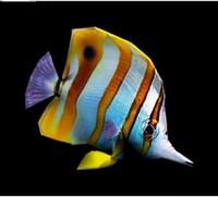 coralfish fish max