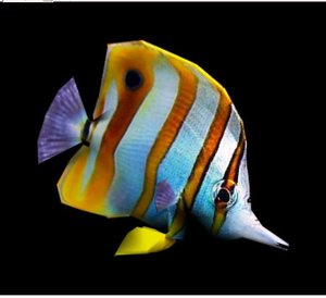 coralfish fish max
