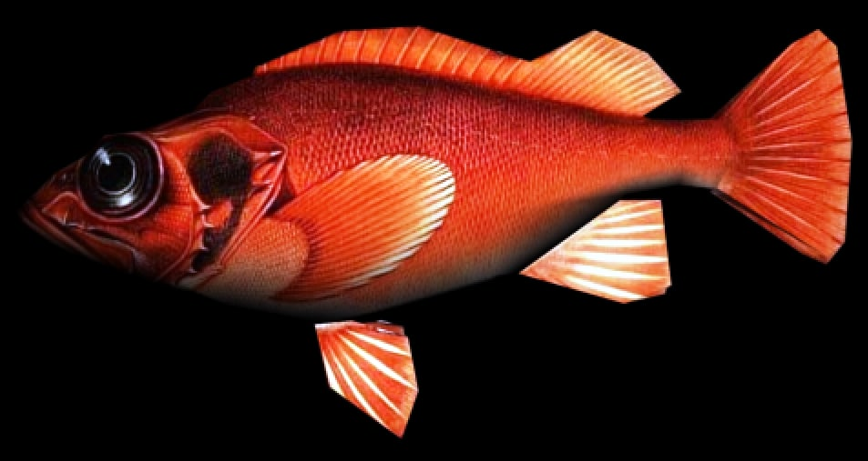3d rockfish fish model