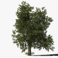 max oak tree