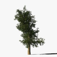 3d platanus tree bark model