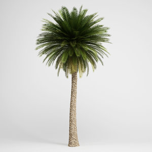 c4d canary island date palm