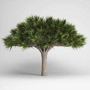 max canary islands dragon tree