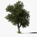 Oak Tree Type6