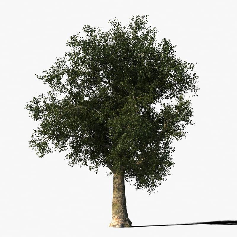 platanus tree bark max