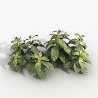 Plant Hoffmania