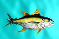 free yellow fin tuna 3d model