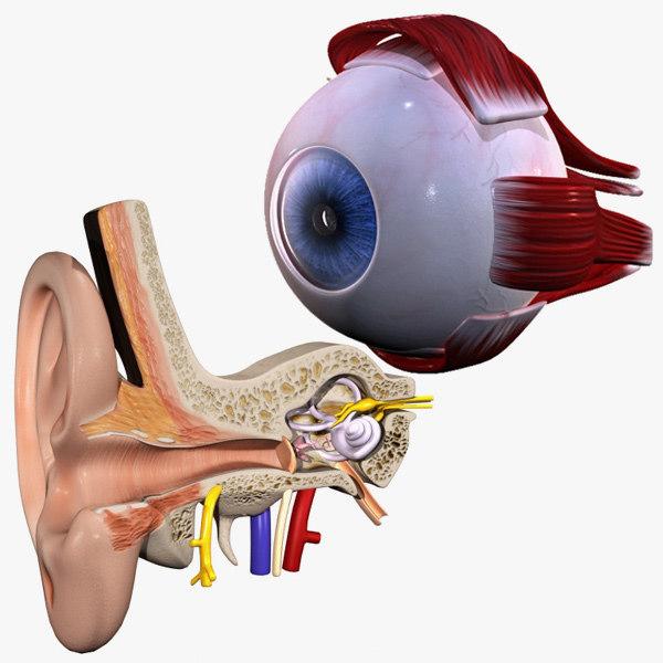 3d model inner ear human eye