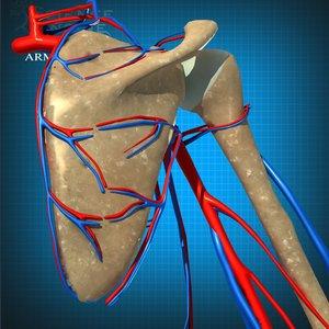 3d veins arteries model