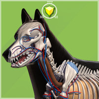 3d german shepherd anatomy body model