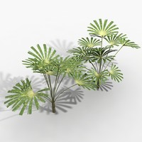 licuala palm 3d model