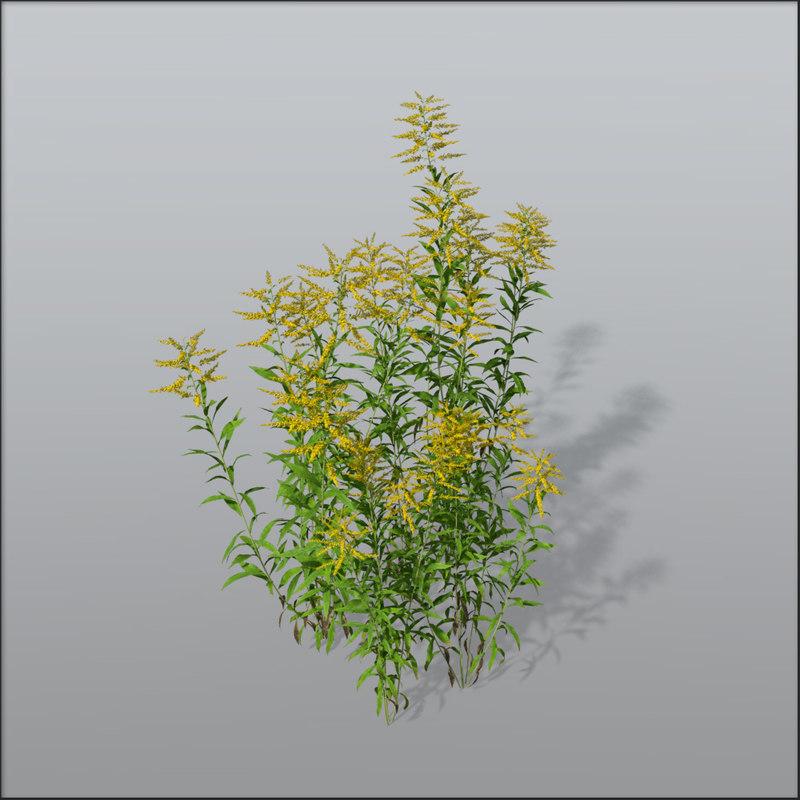 3d model goldenrods asteraceae invasive