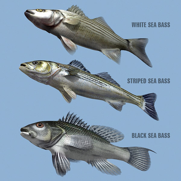 max sea bass family