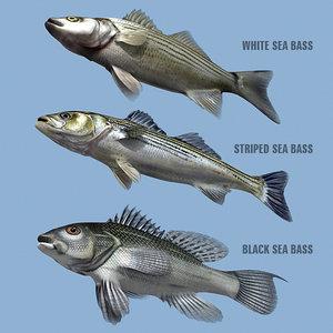 max sea bass family