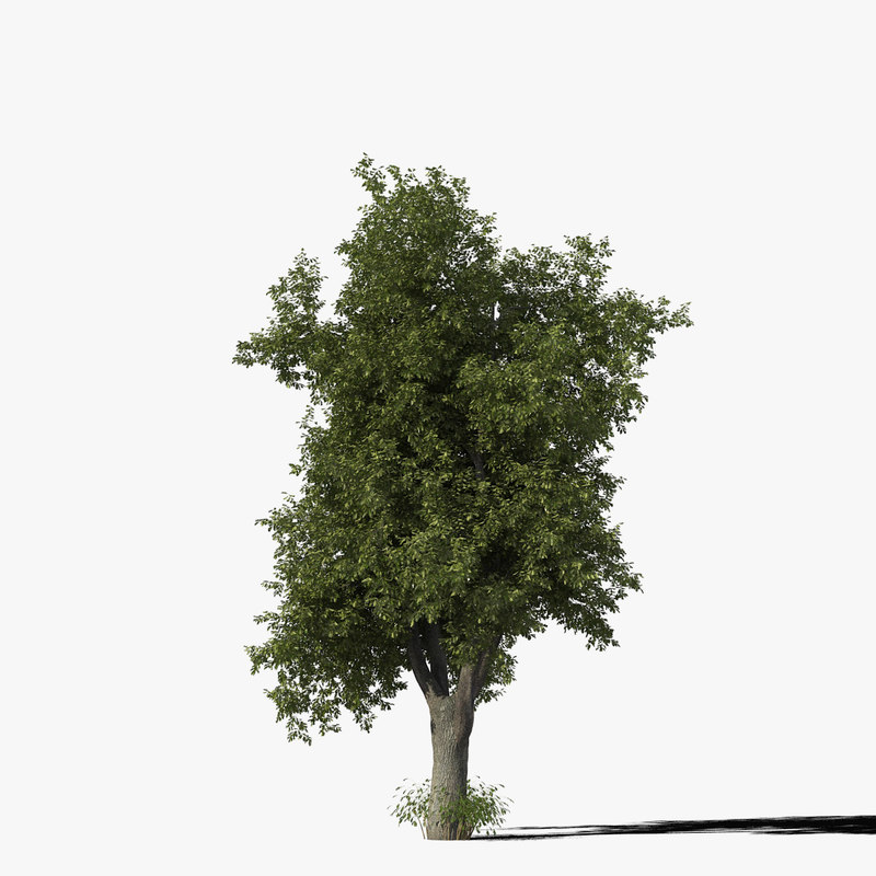 3d oak tree model