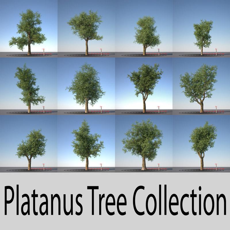 platanus trees 3d model
