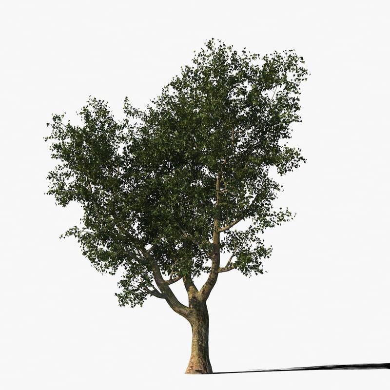 max platanus tree bark