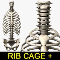 rib cage vertebra 3d 3ds