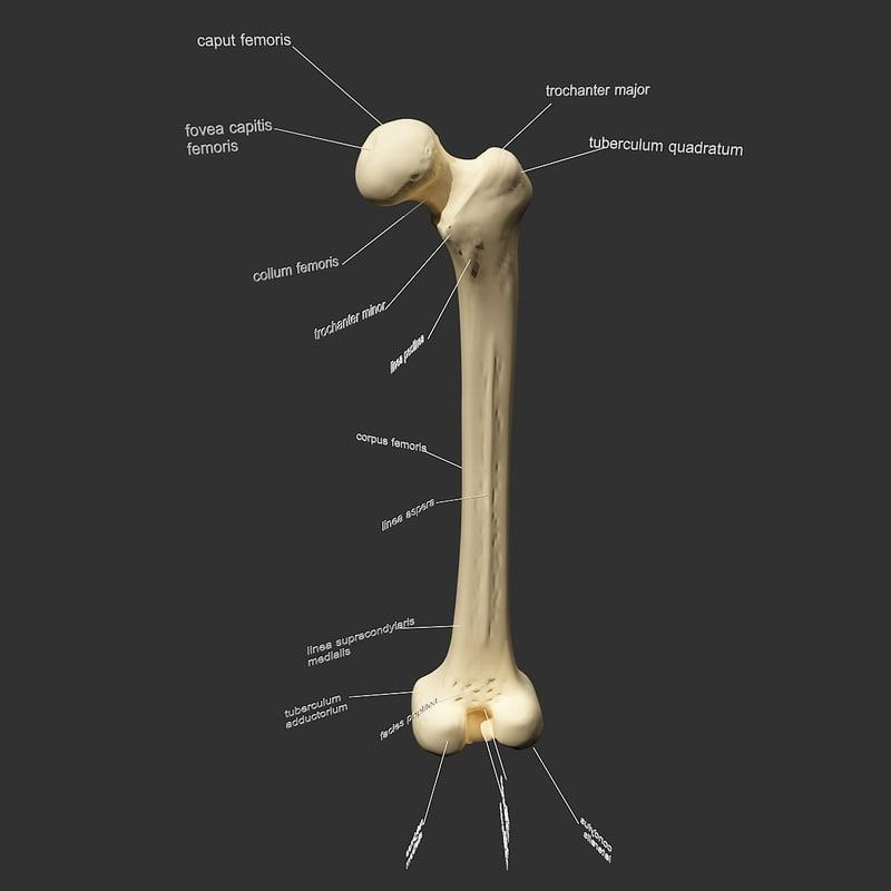 realistic femur 3d 3ds