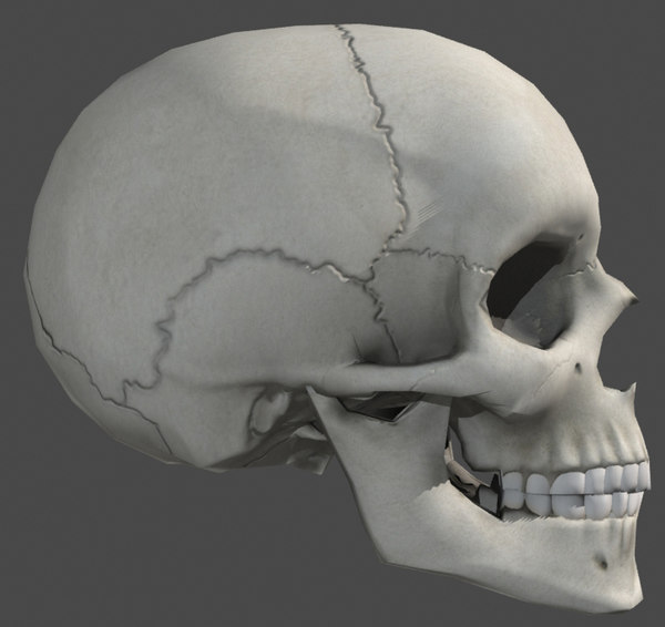 anatomically skull 3d model