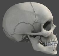 anatomically skull 3d model