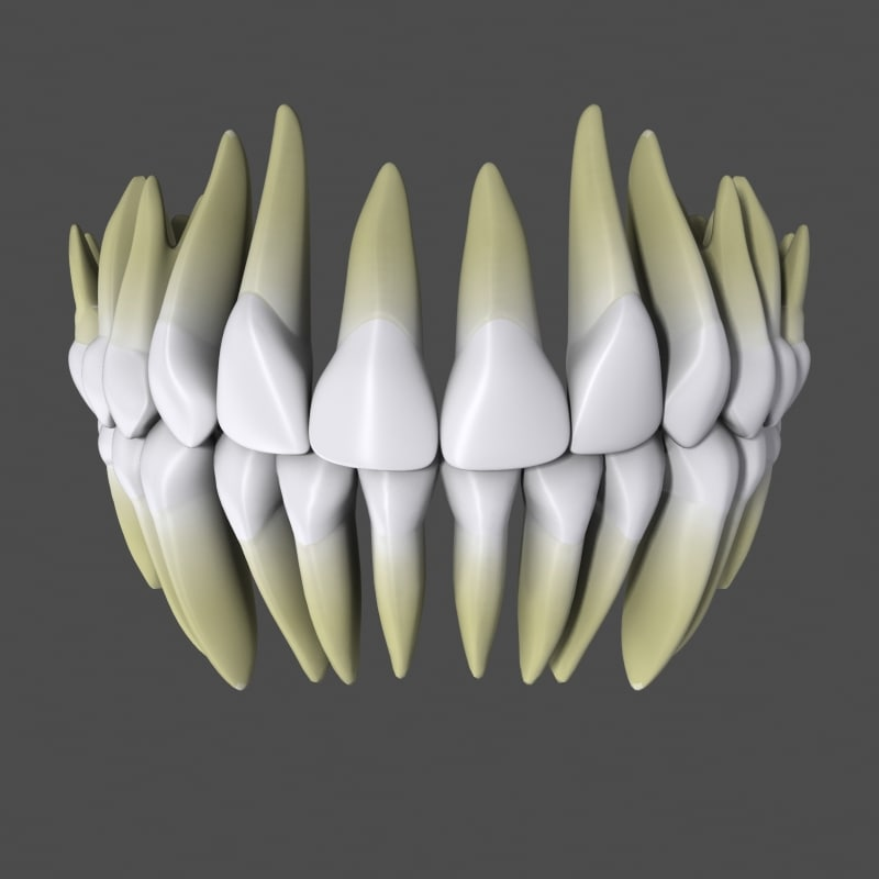 3d model anatomically human teeth