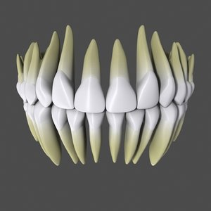 3d model anatomically human teeth