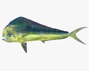 dorado dolphinfish lampuga 3d obj