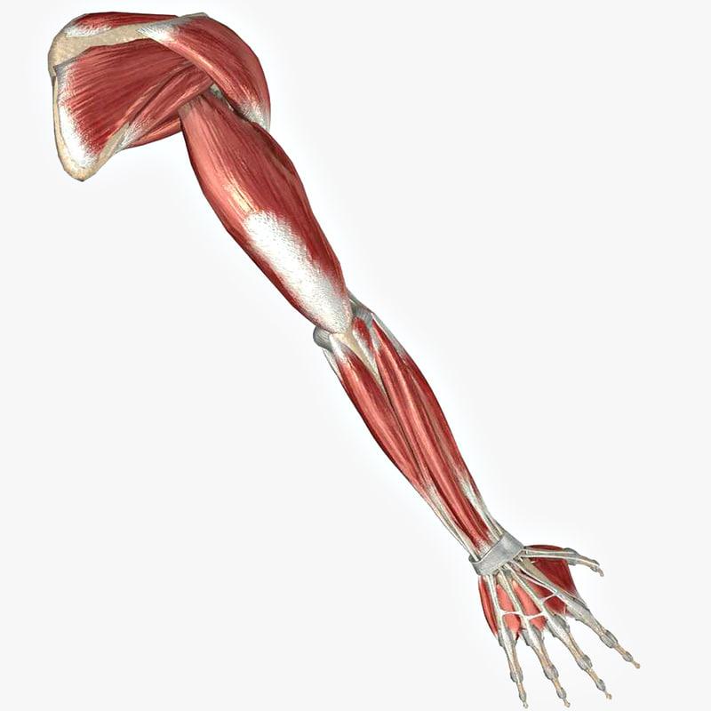 3ds max arm muscles bones ligaments