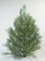 pinus pine 3d model