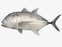 Giant Trevally 3D models