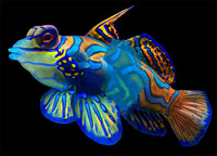 mandarin fish 3ds