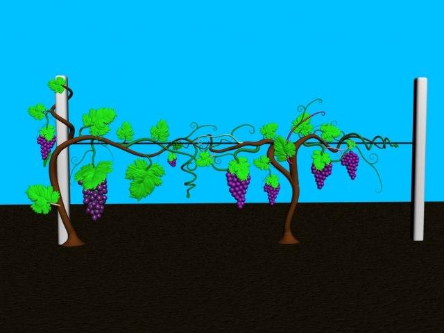 3d grape bush