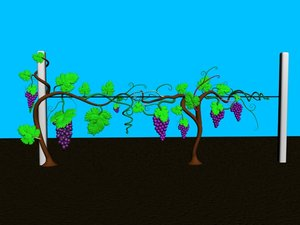 3d grape bush
